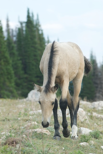 Bolder's Buckskin Filly 8-30-09 atop mountain