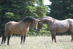 Band Stallions Chino and Chance greet one another