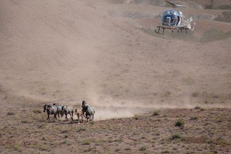 Desert Horses Rounded Up- Pryors 2009, Elyse Gardner photo