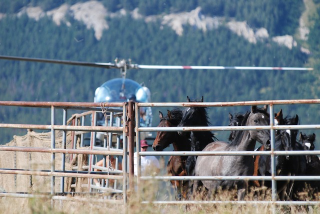 helicopter running down wild horses