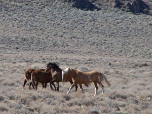 Healthy Wild Horses of Calico- Craig Downer, 10-09