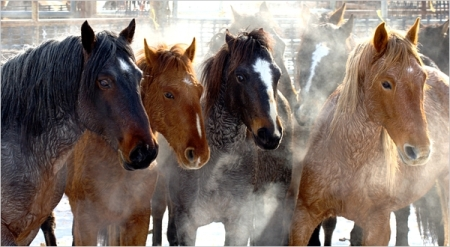 Calico Horses, sweaty in the cold - by Kurt Golgart, courtesy BLM