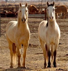 Calico Stallions- photo by Elyse Gardner