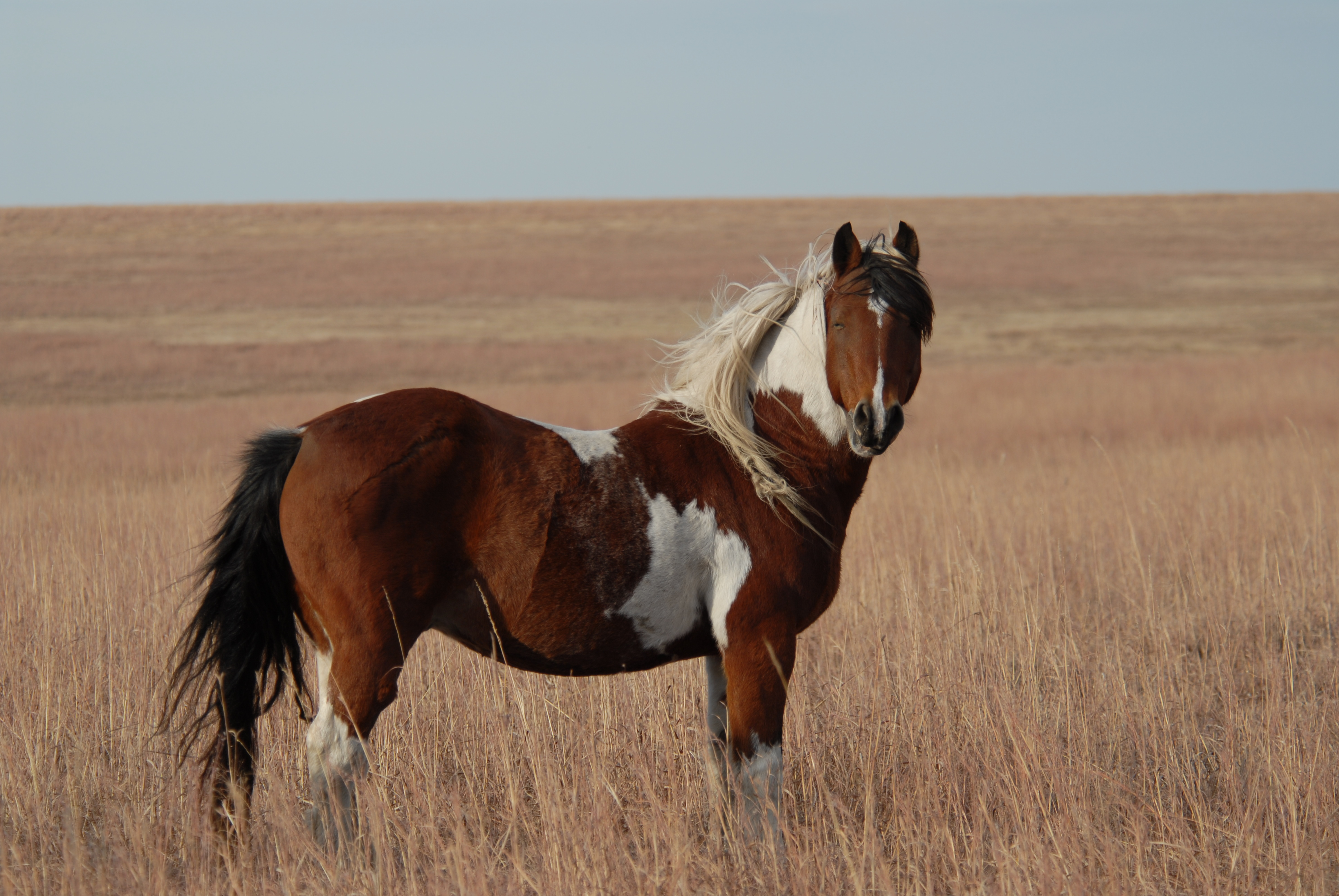 Paint Horses for Sale in Texas - Todays Equine